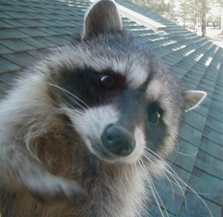 Hello, I am the raccoon!
